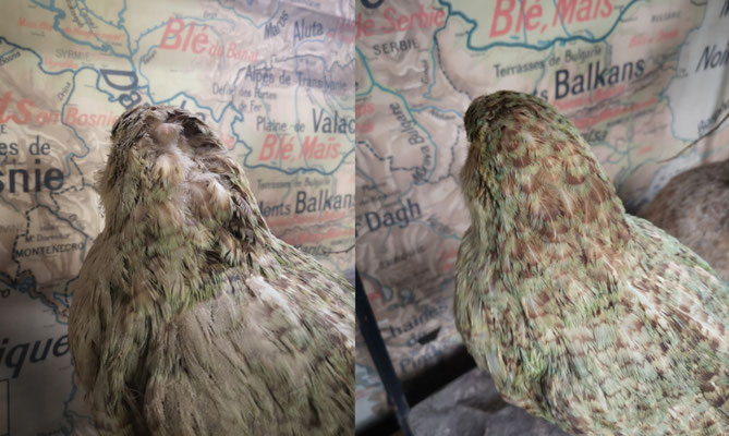 Restoration of a kakapo of the 19th century. Original feathers.