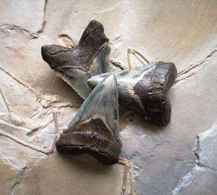 Dents de mégalodon. Une originale et deux répliques.