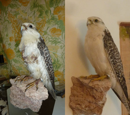 Falconry gyr-saker falcon