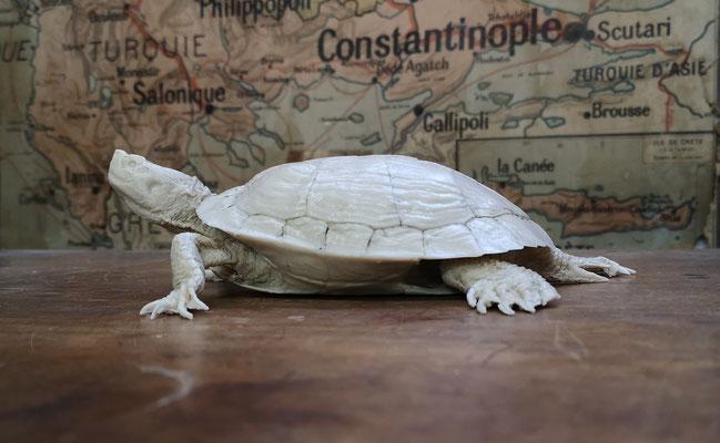 Travail en cours : tortue de Floride Trachemys scripta troostii
