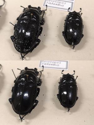 Entomological collection (African Museum, Namur)