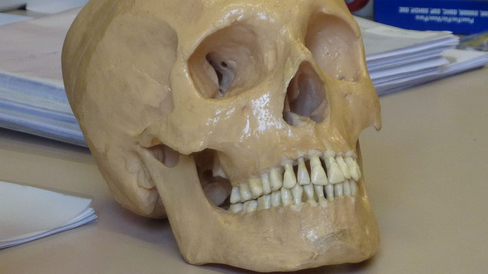 Teeth replacement on a didactical skeleton (UNamur -URBE)