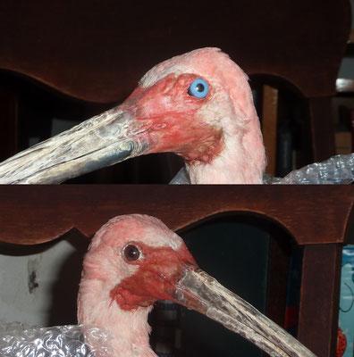 Remplacement des yeux d'un ibis rouge