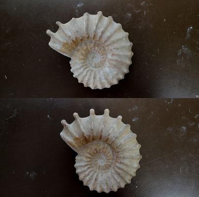 Restauration d'un fossile d'Acanthoceras rhotomagense, Côte d'Opale