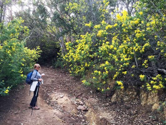 Un beau sentier à travers les mimosas...