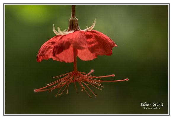 <b>Rot</b><br> Blüte im Botanischen Garten, Bonn. Entstanden beim Clubausflug mit dem Fotoclub Ried.   ©Reiner Gruhle