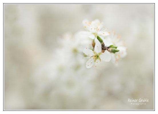 <b>Schwarzdornblüte</b><br>    ©Reiner Gruhle