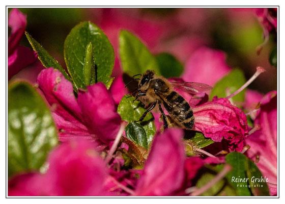 <b>Biene</b><br>    ©Reiner Gruhle