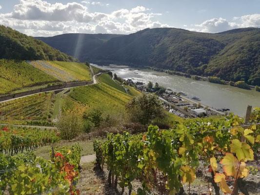 Les vignes et le Rhin