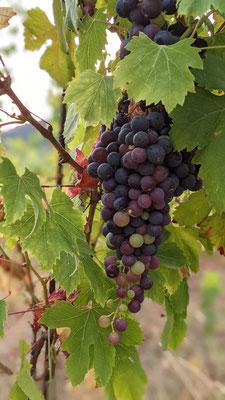 vineyard Ca' di Mare Framura