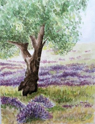 Lavendel bei Grasse (Frankreich)