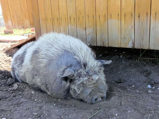 Hängebauchschwein von der Hitze geplagt!