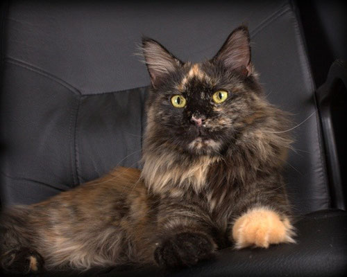 Russicats GoldenClaw Cassandra 3 years 2 months