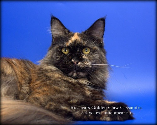 Russicats GoldenClaw Cassandra 3,5 years