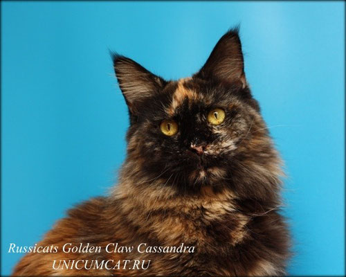 Russicats GoldenClaw Cassandra 4,5 years
