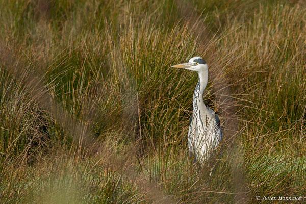 Héron cendré (Ardea cinerea) (adulte) (réserve ornithologique du Teich (33), France, le 24/01/2018)