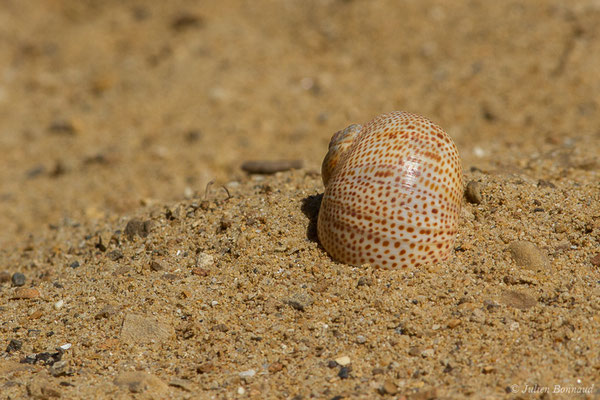 (Naticarius stercusmuscarum) (Carnon, Mauguio (34), France, 2011)