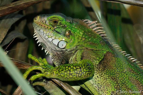 Iguane vert (Iguana iguana) (Remire-Montjoly, Guyane, le 06/12/2016)