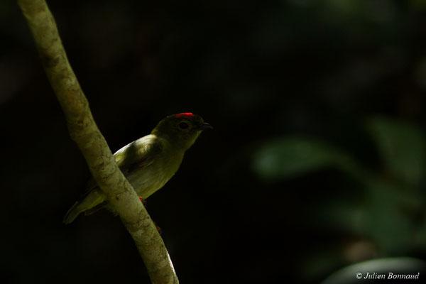 Manakin tijé (Chiroxiphia pareola) (mâle juvénile) (Centre Spatial Guyanais, Kourou, le 22/09/2017)