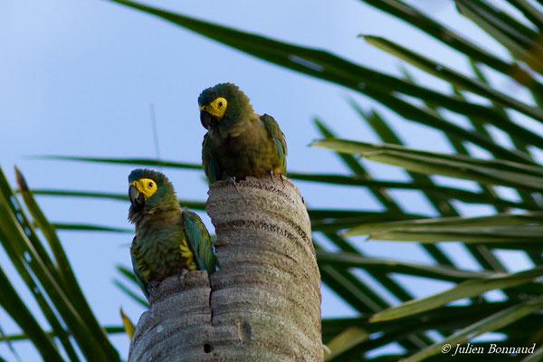 Ara macavouanne (Orthopsittaca manilatus) (couple) (Centre Spatial Guyanais, Kourou, le 20/02/2017)