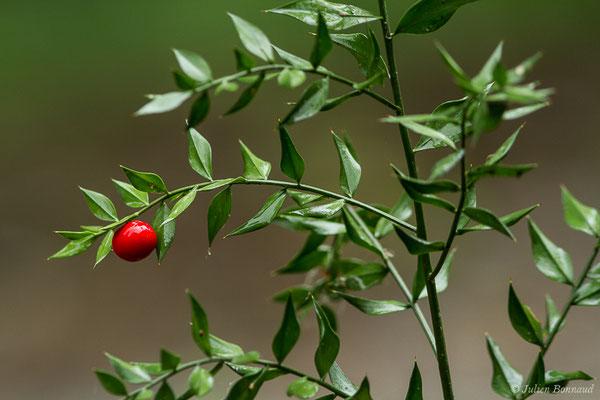 Fragon ou Petit houx ou Buis piquant (Bryonia dioica) (Lacq (64), France, le 02/07/2020)