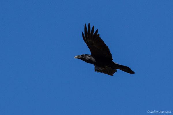 Grand Corbeau (Corvus corax) (Pihourc, Lieoux (31), France, le 24/10/2018)