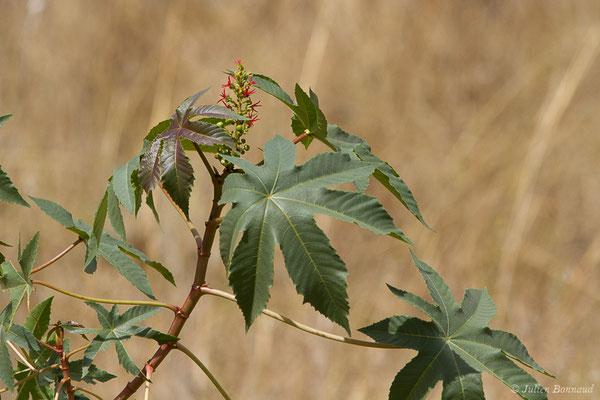 Ricin (Ricinus communis) (Guadalhorce, Malaga (Andalousie), le 08/08/2020)