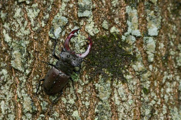 Cerf-volant (mâle), Biche (femelle), Lucane (Lucanus cervus) (Pau (64), France, le 05/06/2019)