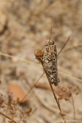 Caloptène ochracé, Criquet de Barbarie (Calliptamus barbarus) (Nossa Senhora da Tourega (Évora), (Algarve), Portugal, le 05/09/2018)