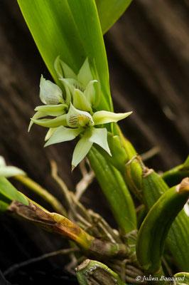 Prosthechea aemula (Plante cultivée, Remire-Montjoly, le 10/02/2017)
