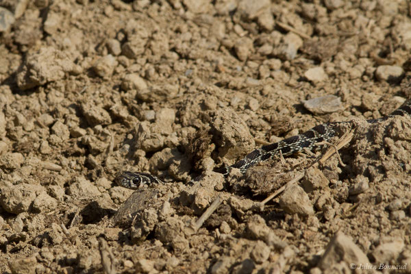 Couleuvre fer-à-cheval (Hemorrhois hippocrepis) (jeune) (Sagres (Vila do Bispo), (Algarve), Portugal, le 03/09/2018)