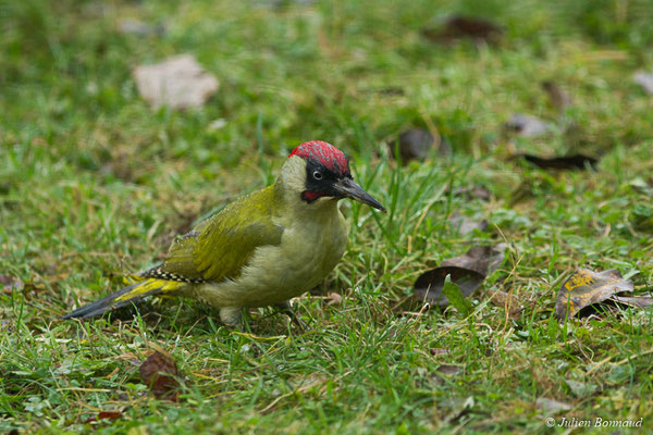 Pic vert (Picus viridis) (mâle adulte) (Pontivy (56), France, le 05/12/2017)