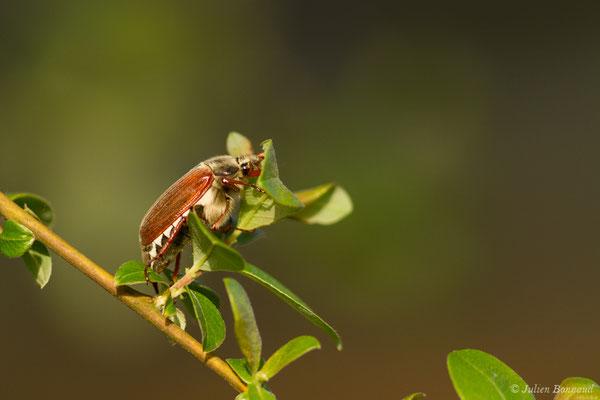 hanneton commun (Melontha melolontha) (Ger (64), France, le 18/04/2018)