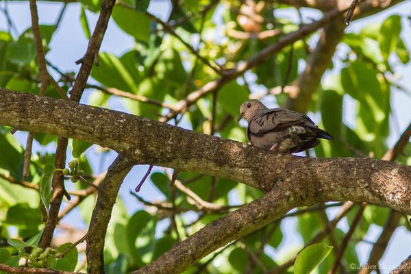 Colombe à queue noire (Columbina passerina) (Bois jolan, Saint-Anne, Guadeloupe, le 16/05/2016)