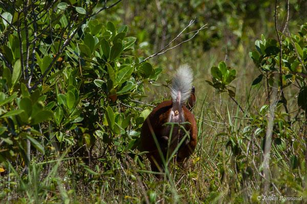 Daguet rouge (Mazama americana) (Centre Spatial Guyanais, Kourou, le 31/07/2017)