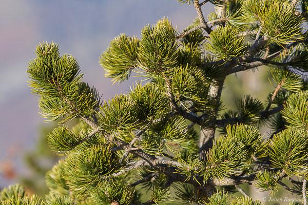 Pin à crochets – Pinus mugo subsp. uncinata (Ramond ex DC.) Domin, 1936, (La Pierre Saint Martin (64), France, le 07/12/2019)