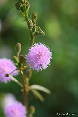 Mimosa pudica (Centre Spatial Guyanais, Kourou, le 12/05/2014)