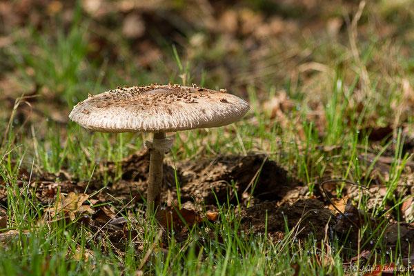 Lépiote élevée ou Coulemelle (Macrolepiota procera) (Parbayse (64), France, le 24/10/2020)
