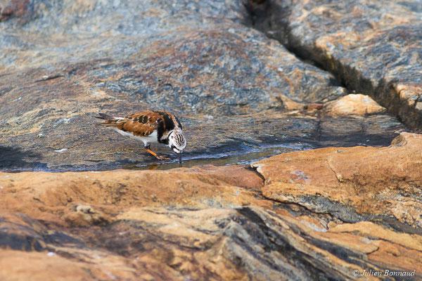 Tournepierre à collier (Arenaria interpres) (adulte plumage nuptial) (Cayenne, Guyane, le 22/03/2017)