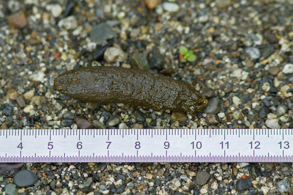 Ragondin – Myocastor coypus (Molina, 1782), (crotte) (Coarraze (64), France, le 04/05/2021)