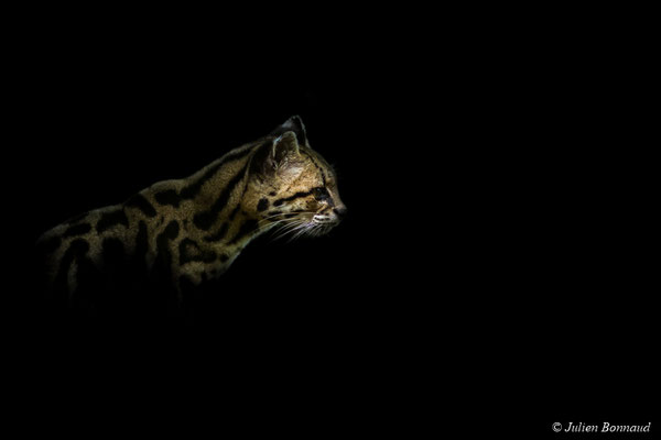 Chat margay (Leopardus wiedii)