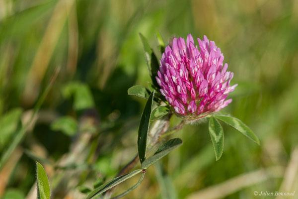 Trèfle des prés, Trèfle violet (Trifolium pratense) (Saint-Pée-sur-Nivelle (64), France, le 12/04/2021)