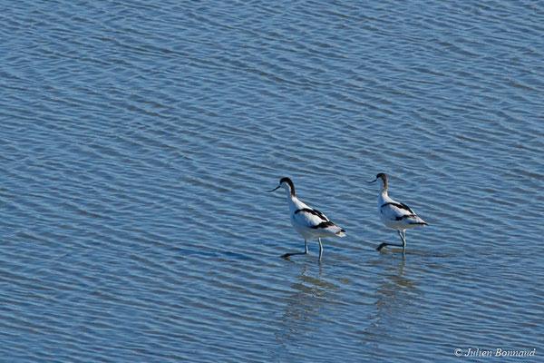 Avocette élégante – Recurvirostra avosetta Linnaeus, 1758, (réserve ornithologique du Teich (33), France, le 24/01/2018)