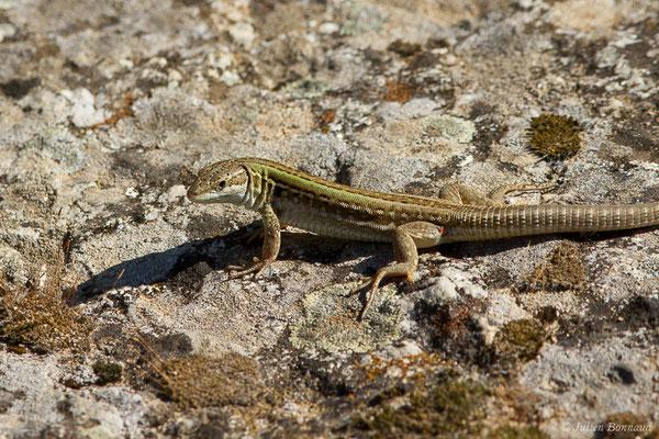 Lézard sicilien ou Lézard des ruines (Podarcis siculus) (mâle adulte) (Monticello (2A), France, le 01/09/2019)