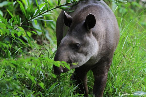 Tapir (Tapirus terrestris) (Zoo de Guyane)
