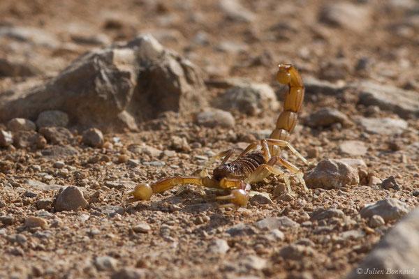 Scorpion Languedocien (Buthus occitanus) (Vila do Bispo (Faro), (Algarve) Portugal, le 30/08/2018)