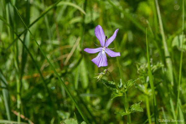 Pensée à cornes (Viola cornuta) (Sers (65), France, le 23/06/2020)
