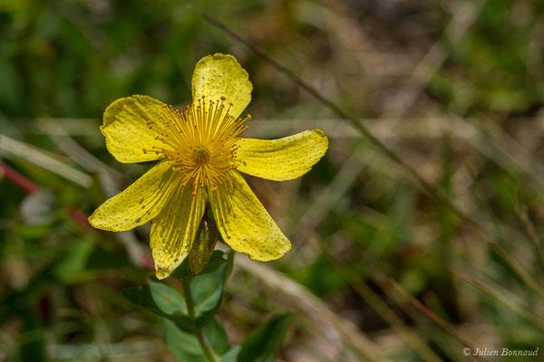Millepertuis de Richer (Hypericum richeri) (lac d'Ayous, Laruns (64), France, le 13/07/2019)