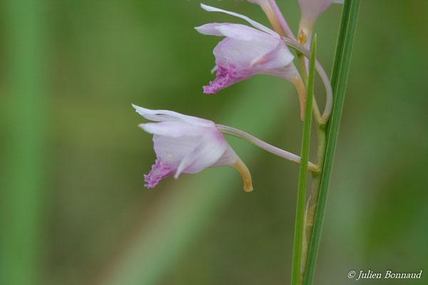 Galeandra stillomisantha (Centre Spatial Guyanais, Kourou le 12/05/2014)