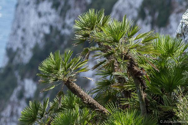 Chamaerops nain, Doum, Palmier nain (Chamaerops humilis) (Tarifa (Andalousie), le 02/08/2020)